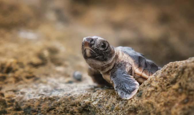 baby turtle cuixmala